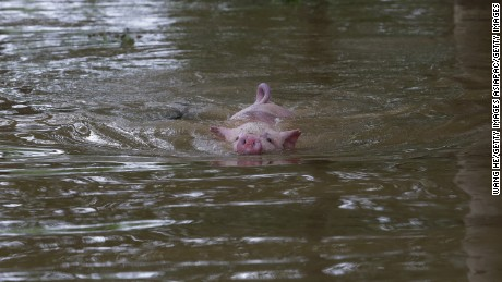 WUHAN, CHINA - JULY 03:  A pig swims in the flood after Jushui River broke the dyke and flooded DongChun village in Wuhan in central China's Hubei province Saturday July 03, 2016.Floods spawned by torrential rain in China's southern and eastern regions have left at least 186 people dead and another 45 missing. (Photo by Wang He/Getty Images)