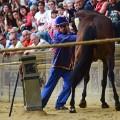siena horses controlling horse