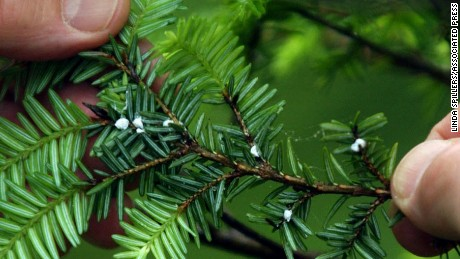 Hemlock wooly adelgids, the white clumps on this branch, are attacking eastern hemlocks.