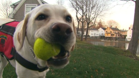 An assistance dog trained to work with diabetic owners sniffs the camera.