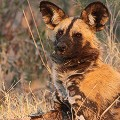 Wild-dog-in-Bwabwata