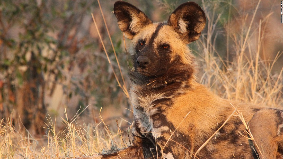 """The African wild dog is classified as an endangered species by the International Union for Conservation of Nature (IUCN), with the <a href=""""http://www.worldwildlife.org/species/african-wild-dog"""" target=""""_blank"""">current population</a> being estimated at around 6,600 adults."""