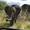 Elephants-wary-of-our-vehicle