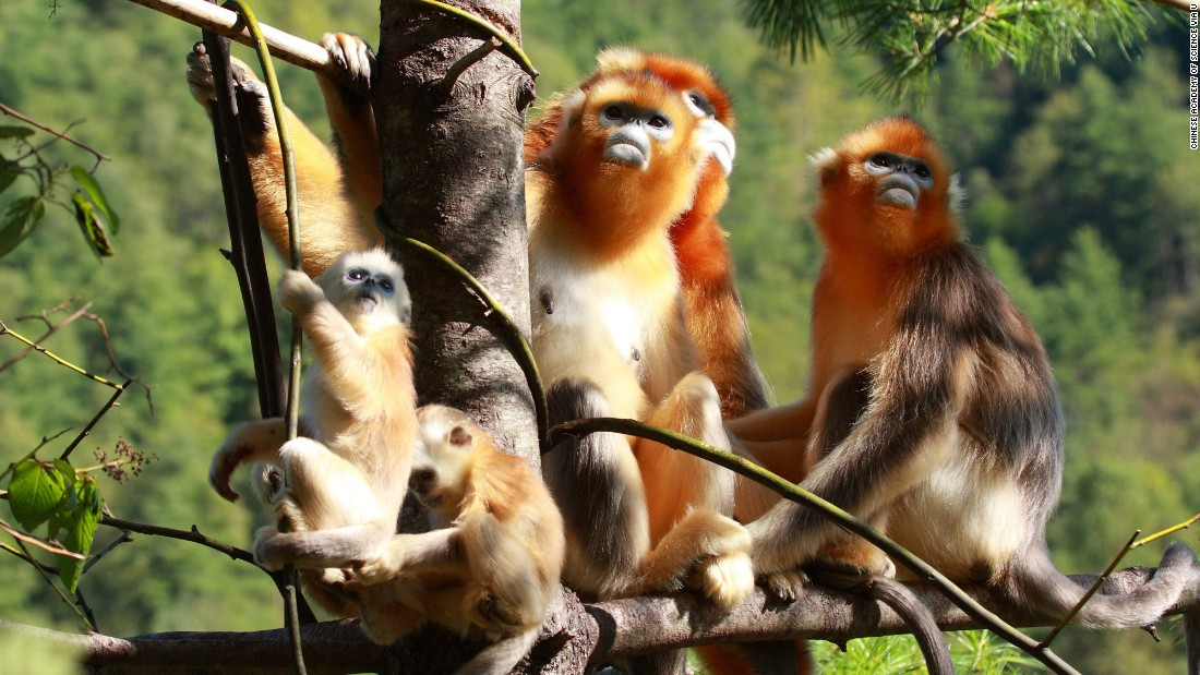 Hubei Shennongjia protects Central China's largest remaining primary forests. It's also the habitat for the golden or snub-nosed monkey (shown here), the Chinese giant salamander, the clouded leopard, the Asian black bear and many other rare animal species.<br />