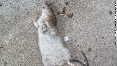 Rat complaints are up 67% this year in Chicago.