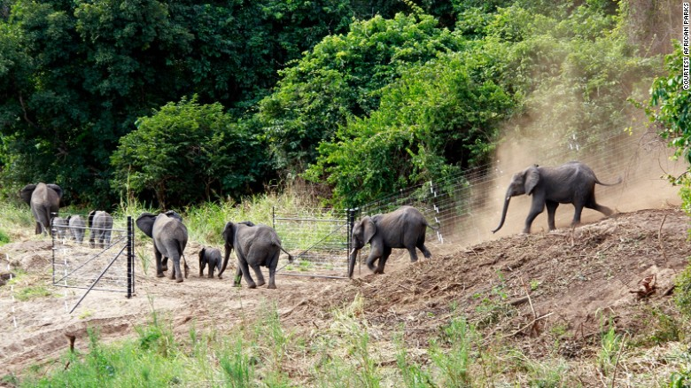 After about a day in a small holding area by the entrance to the sanctuary, during which the families can reconnect with their family groups, the newcomers are released into their new home. This summer will see another 150 elephants rehomed, with the remaining 250 scheduled to be moved next year. <em>Photo: Will Whitford</em><br />