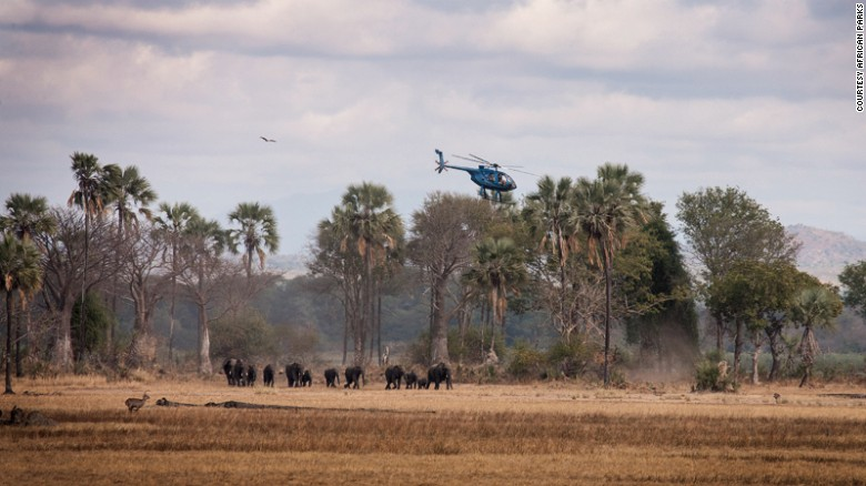 African Parks, a conservation NGO that manages national parks and protected areas across Africa, is heading up the massive operation. The first phase this month saw 92 elephants moving home. For their capture, a helicopter is used to herd the family groups together into a suitable place.
