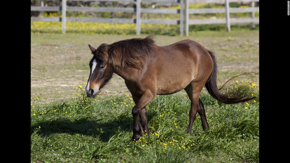 Ocracoke Island's wild ponies are among its most sought-after residents. It's believed that ships ran aground centuries ago and unloaded Spanish mustangs on the island.