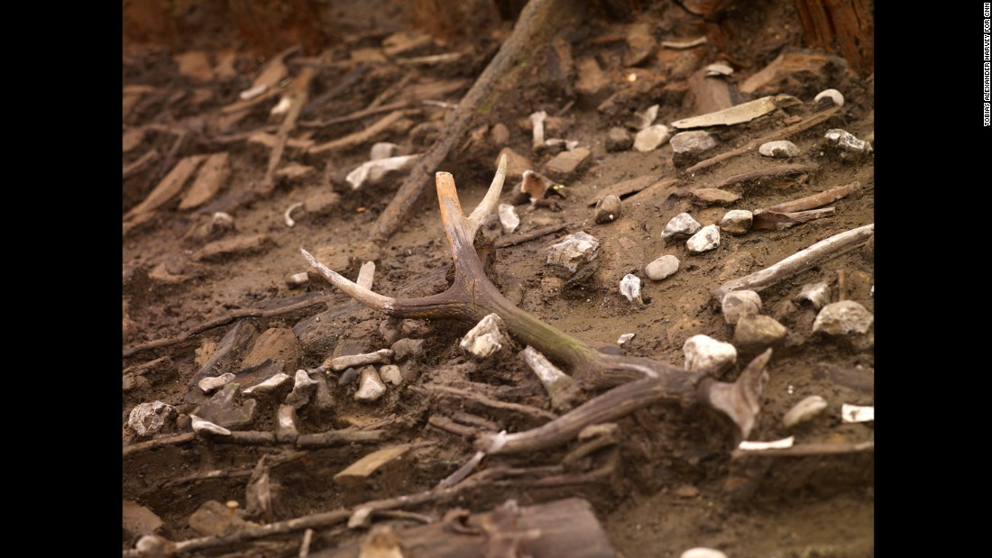 This deer antler is still attached to part of the skull, indicating that it wasn't shed naturally.