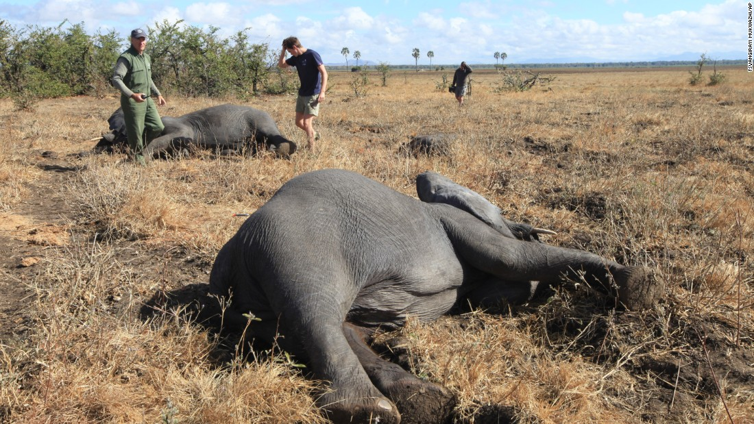 Poachers slaughter the threatened species to meet demands for ivory. Estimates say Africa currently has fewer than 500,000 elephants, down from several million only a century ago.