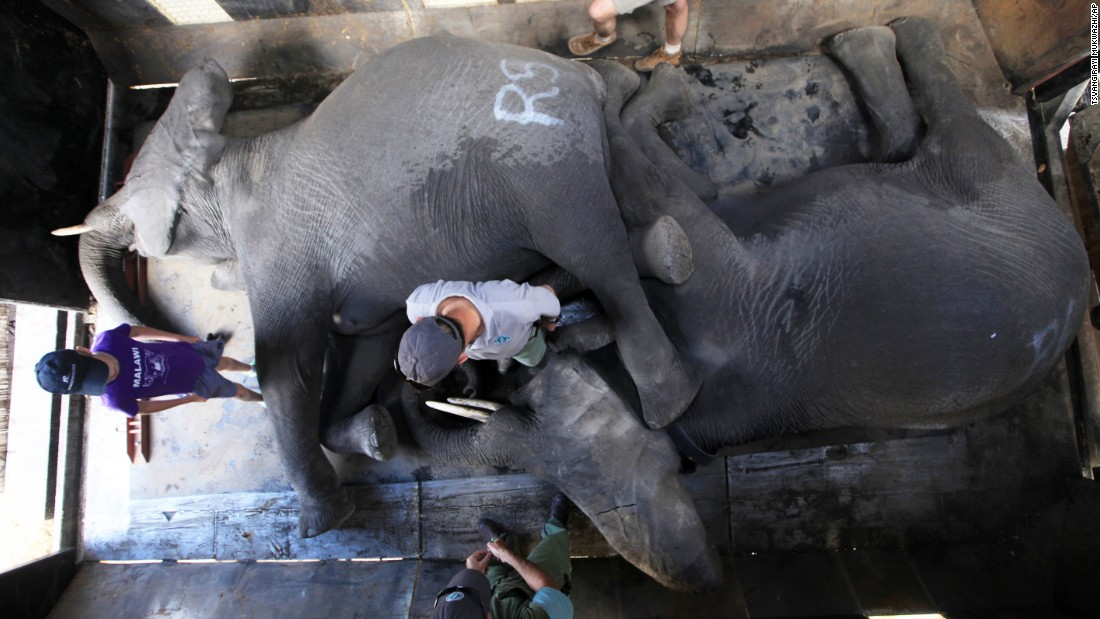According to Kester Vickery, leader of Conservation Solutions, successful relocation of elephants depends on keeping elephant families together. Vickery says that the first thing an elephant mother does after recovering from immobilization is to look for her baby.