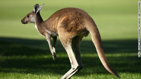 PERTH, AUSTRALIA - FEBRUARY 27: A kangaroo jumps across the 16th fairway during day three of the 2016 Perth International at Karrinyup GC on February 27, 2016 in Perth, Australia.  (Photo by Paul Kane/Getty Images)