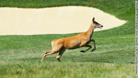 SPRINGFIELD, NJ - JULY 25:  A deer is seen during a practice round prior to the 2016 PGA Championship at Baltusrol Golf Club on July 25, 2016 in Springfield, New Jersey.  (Photo by Andrew Redington/Getty Images)