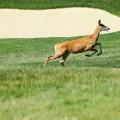 baltusrol 2016 deer on course