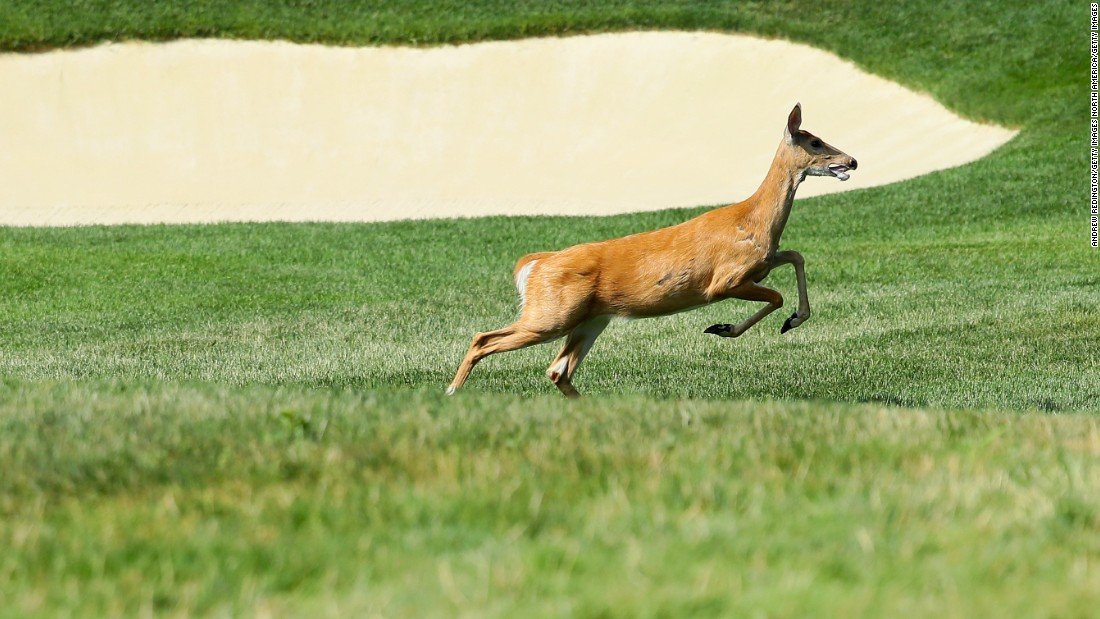 Deer roam freely on the grounds -- as seen during Monday's practice rounds ahead of the 2016 event. The club has regular culls with licensed hunters.