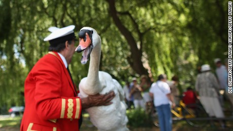 SUNBURY, ENGLAND - JULY 15:  Swans and cygnets are caught, measured, assessed and tagged on the River Thames during the annual Swan Upping ceremony on July 15, 2013 in London, England. Swan Upping is the annual census of the River Thames' swan population is led by David Barber, The Queens Swan Marker, it begins on July 15, 2013 in Sunbury and ends at Abingdon, Oxfordshire on July 19, 2013. The Queen's Swan Marker and the accompanying Swan Uppers of the Vintners' and Dyers' Livery Companies use six traditional Thames rowing skiffs in their five-day journey upstream to ensure that the swan population is maintained.  (Photo by Oli Scarff/Getty Images)
