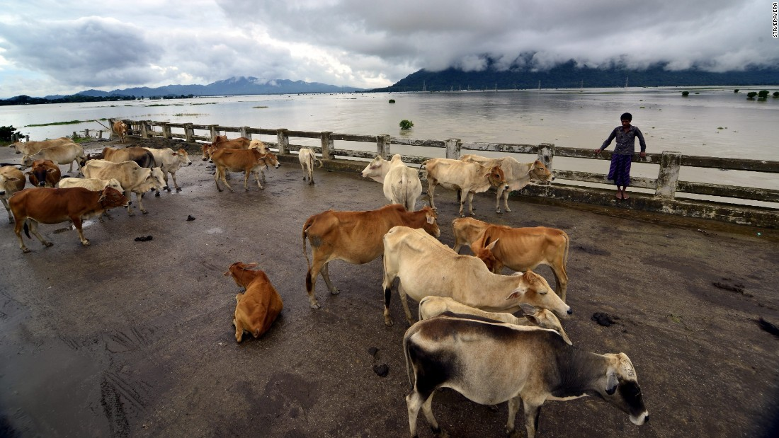 A boy and his cattle take shelter on a bridge as their village is submerged by floodwaters in the Indian state of Assam on Saturday, July 23.