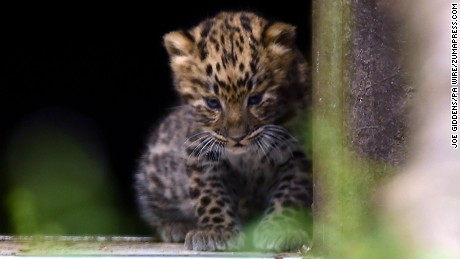 One of two five-week-old Amur leopard cubs looks out into its enclosure at Twycross Zoo.