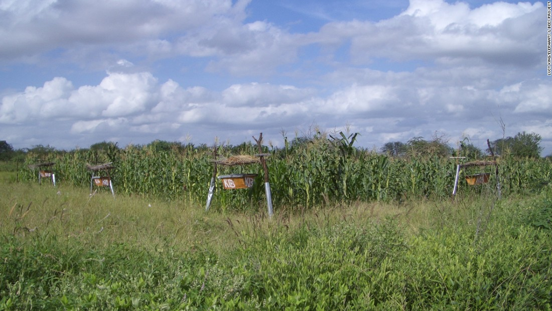 Twelve to 15 hives can protect an area between 1.5 and 2 acres -- the size of the sustenance farms King is targeting.