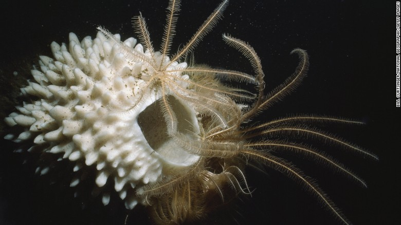 A simple glance reveals the Antarctic sponge to be among the most primitive of animals. Yet these remote sea creatures have versatile feeding behaviors, can produce unique chemicals and can display complex developmental processes, according to the <a href=
