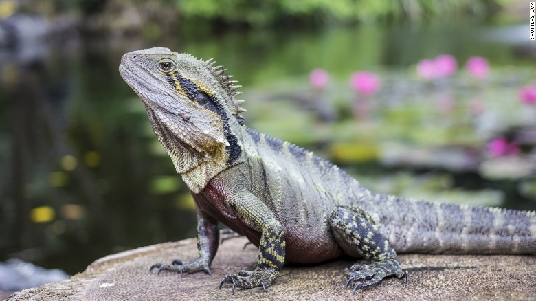 Tuatara, which live on 32 offshore islands of New Zealand, are the only surviving species in an ancient order of reptiles that lived during the age of dinosaurs. They tip the scales at 2 pounds or less, according to <a href=