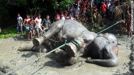 The tranquillized elephant lies on the ground after being pulled from a pond by forest officials and villagers