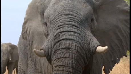 cnnee digital pkg elefantes dia mundial _00000000