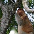 brunei probiscis monkey 3