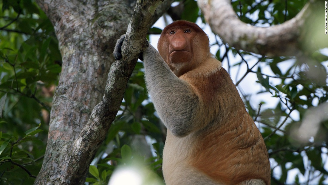 """One of the area's most unique creatures is the <a href=""""http://www.iucnredlist.org/details/summary/14352/0"""" target=""""_blank"""">endangered</a> proboscis monkey who thrives in the swampy mangrove forests and can only be found on Borneo -- munching on fruit, leaves and the odd caterpillar."""