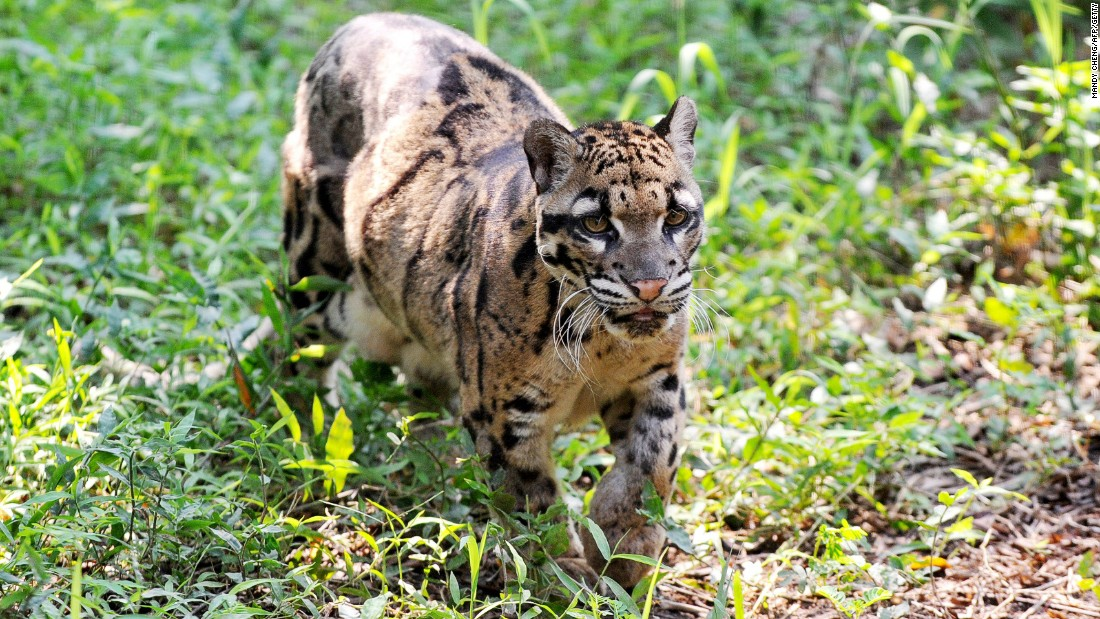 """The mighty Sunda clouded leopard can only be found in <a href=""""http://www.wwf.org.au/our_work/wwf_global_work/wwf_global_flagship_species/clouded_leopards/"""" target=""""_blank"""">Sumatra and Borneo</a>. Their numbers are decreasing in Brunei and spotting them in the wild has become very challenging, says Lin Ji Liaw, President of <a href=""""http://www.bruwild.org/"""" target=""""_blank"""">BruWild</a>, a conservation group working in the area. They are distinguished by the cloud-like patches on their fur and the largest canine fangs relative to their bodies in any living cat species. Despite the name they are of a <a href=""""http://www.livescience.com/11632-clouded-leopard-species-2-unique-types.html"""" target=""""_blank"""">separate genus</a> to leopards and other large cats like panthers and tigers. They are camera-shy predators and the one pictured lives at Taipei Zoo."""