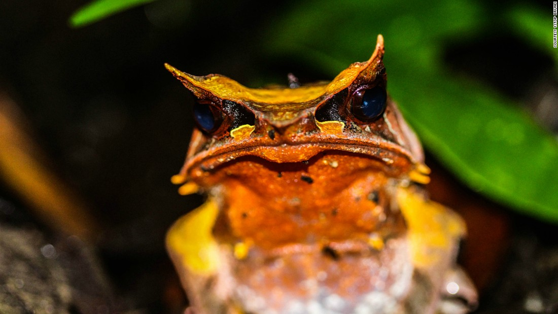 """One such species is this creative little amphibian, who has figured out how to hide from predators by blending into its surroundings. Its shape and color have evolved to look just like the dead leaves on the forest floor. Sometimes also called the long-nosed frog, it has a pointed snout and what look like horns on its head, also part of the camouflage. This comes in handy when hiding in the undergrowth to catch its prey. The species is endemic to Borneo says Muhammad Shavez from <a href=""""http://www.1stopbrunei.com/"""" target=""""_blank"""">1StopBrunei</a>, a group of local conservationists and eco-tourism operators.<br />"""