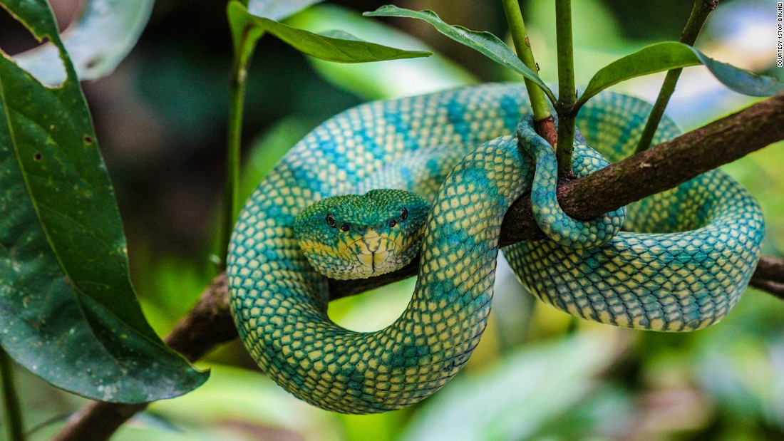 """Brightly colored and venomous, this snake is a patient predator and can stay put for weeks on end as it waits for the perfect opportunity to snatch its prey -- usually birds or rodents, <a href=""""http://www.1stopbrunei.com/portfolio/2704/"""" target=""""_blank"""">according to 1Stop Brunei</a>.<br />"""