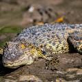 brunei alligator