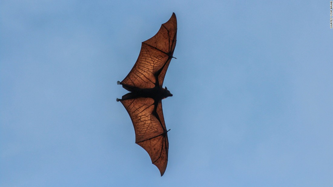 """This mysterious mammal is actually a bat, although as the name suggests, it's so big it looks more like a dog or fox with wings flying amongst the treetops. But fear not. Despite wingspans of up to five and a half feet, fortunately it's herbivorous. They can travel long distances and are important pollinators of the forest plants, Shavez explains. """"They are like the bees of the night and very important for the ecosystem."""""""