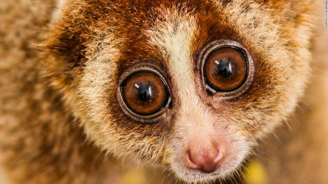 """The pint-sized <a href=""""http://www.brookes.ac.uk/microsites/the-slow-loris/slow-loris-facts/"""" target=""""_blank"""">primate</a> is nocturnal and has the longest tongue of all the primates, which they use to drink nectar from flowers. Now endangered, they are among the rarest primates on earth, having diverged from African bushbabies around 40 million years ago. <br />Although these forests' wildlife is under threat, there is hope. Brunei has recently begun to promote ecotourism, which could incentivize stronger conservation efforts in the area, if managed well, says Liaw, which will hopefully mean a brighter future for its fascinating animals."""