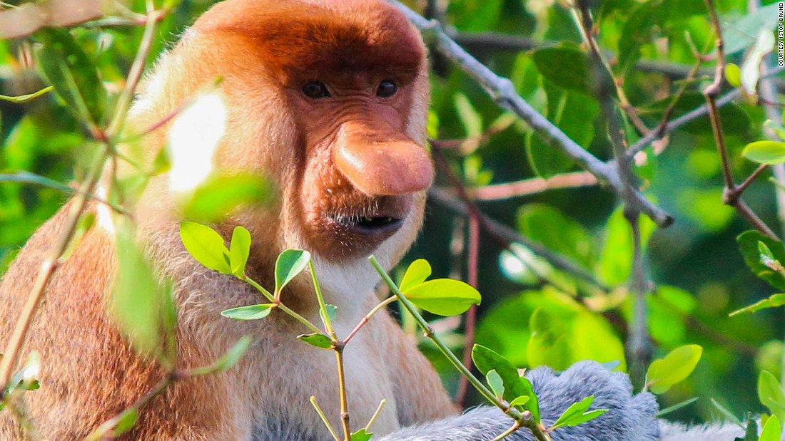 """Though perhaps odd-looking to humans, the males use their long, bulbous noses to attract and <a href=""""http://animals.nationalgeographic.com/animals/mammals/proboscis-monkey/"""" target=""""_blank"""">impress females</a>, and they live in harem groups of one male and up to seven females. Their webbed feet make them excellent swimmers and they like to spend most of their time near water."""