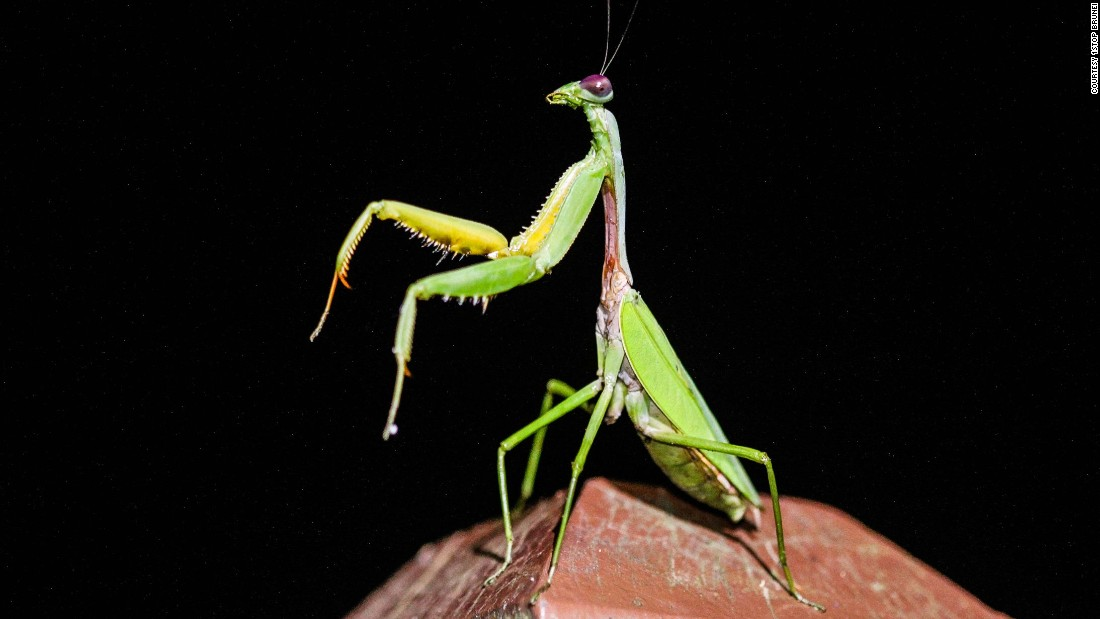 """Due to the way it holds its front legs together as if saying prayers, this insect is named after the Greek word mantis which means prophet or fortune teller. Hardly a picky eater, the carnivorous mantis feasts primarily on other insects, but has been known to eat small reptiles, mammals and even other mantids, especially after mating, when females may decide to <a href=""""http://wwf.panda.org/about_our_earth/teacher_resources/best_place_species/current_top_10/praying_mantis.cfm"""" target=""""_blank"""">eat their partners.</a><br />"""