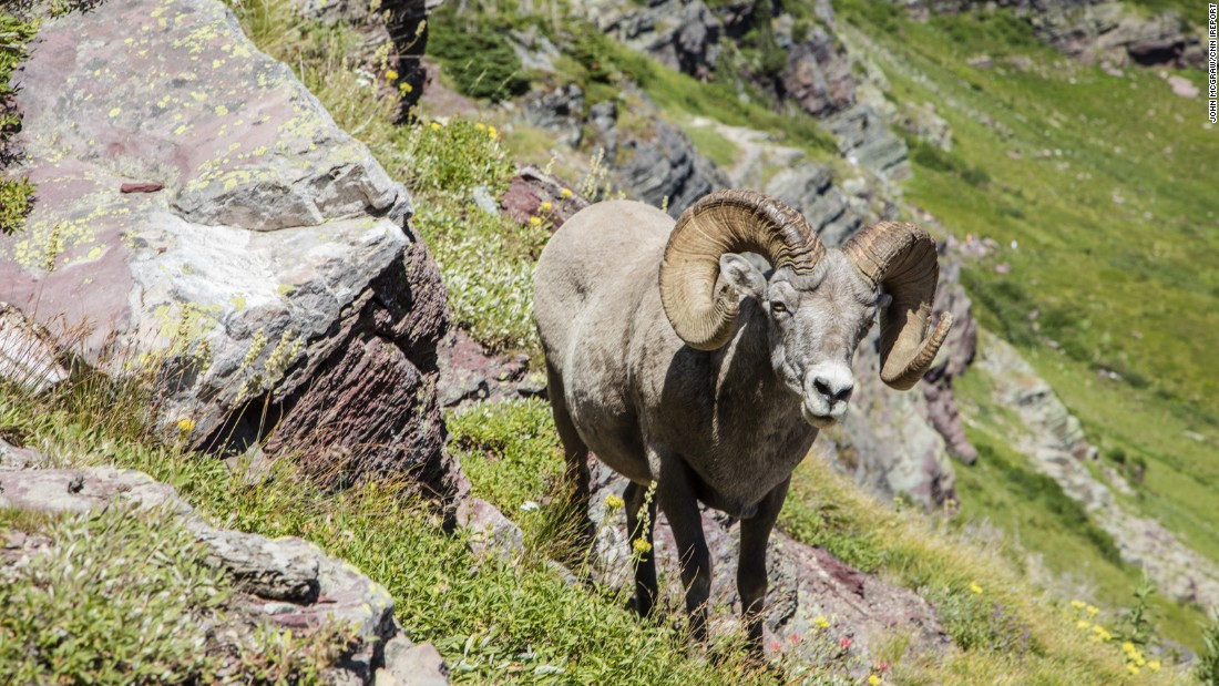 "A bighorn sheep said ""hello"" as McGraw and his wife made their way up the glacier."