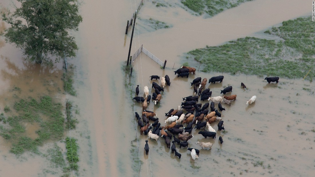 Cattle huddle together in floodwaters near Hammond on August 13.