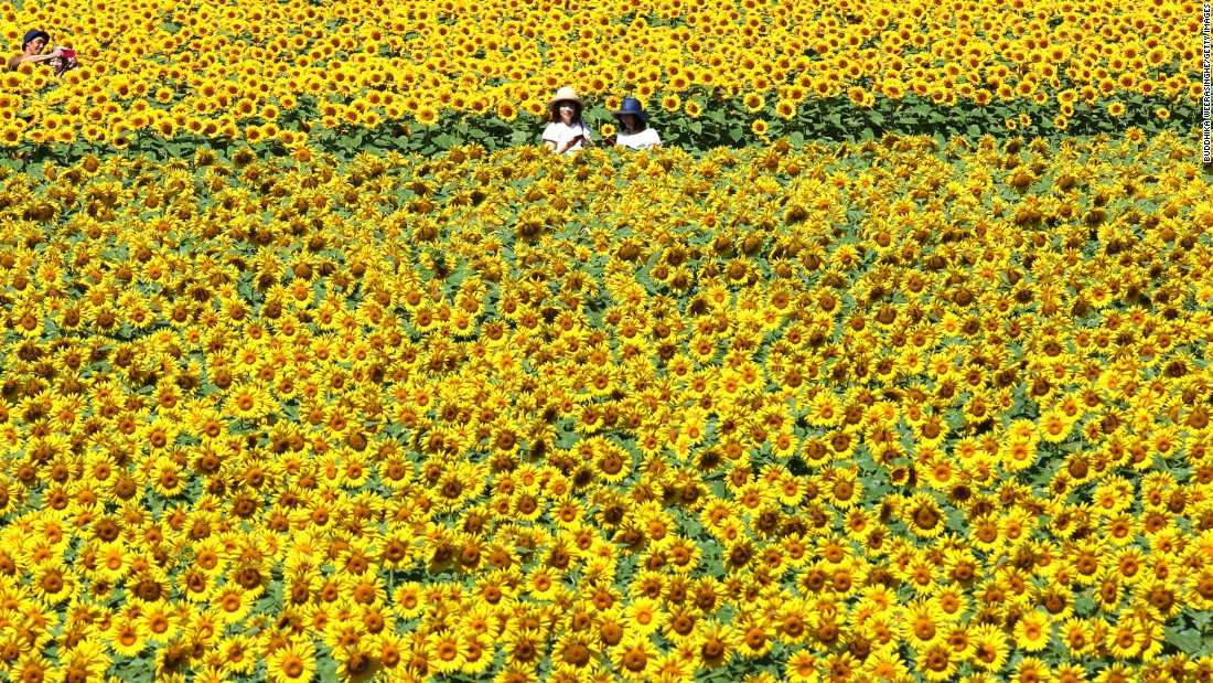 Few things say summer quite like a sea of sunflowers. This field is part of the Serakogen Nojo flower farm in Sera, Japan, where a million-plus tall flowers are blooming during its annual sunflower festival held through August 20.