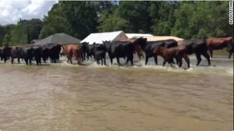 Cattle in Louisiana flood