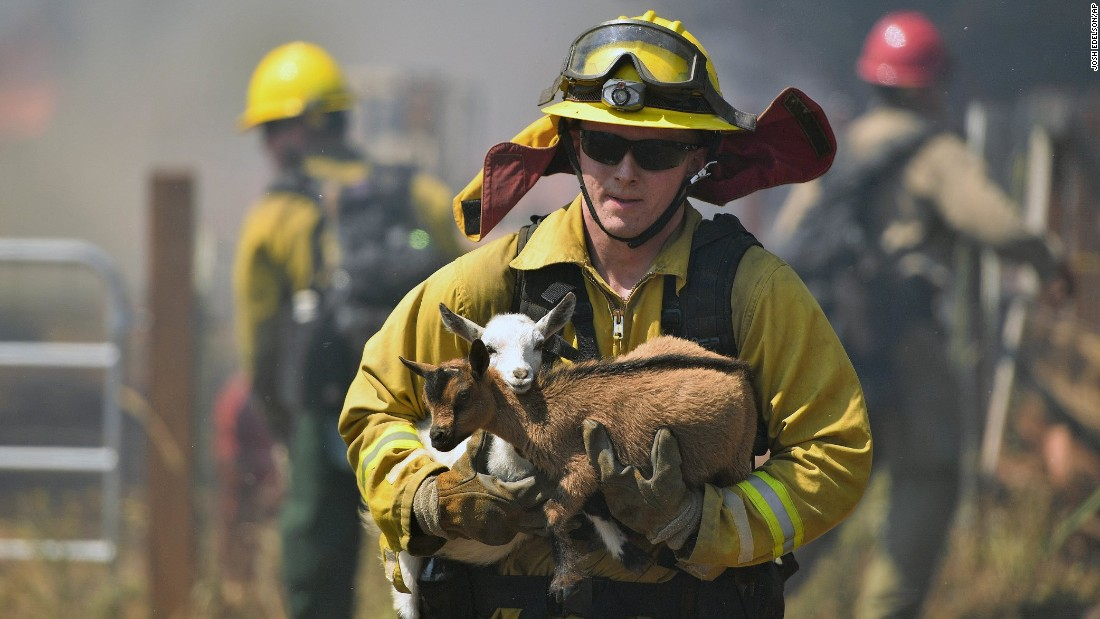 """A firefighter rescues goats from a wildfire in Lower Lake, California, on Sunday, August 14. The Clayton Fire <a href=""""http://www.cnn.com/2016/08/15/us/northern-california-wildfire/"""" target=""""_blank"""">has also forced thousands of people to flee their homes.</a>"""