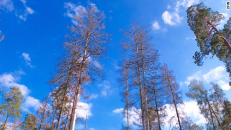 Spruce trees attacked by the bark beetle. The beetle bores into the trunk and feeds and breeds beneath the bark.