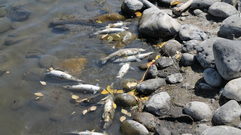 In recent days, officials have documented over 2,000 dead Mountain Whitefish on some stretches of the Yellowstone