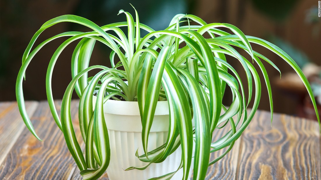 """Chlorophytum comosum, a kind of spider plant, can take up more than 90% of <a href=""""https://pubchem.ncbi.nlm.nih.gov/compound/o-xylene#section=Use-and-Manufacturing"""" target=""""_blank"""">o-Xylene, found in fuels</a>, and <a href=""""https://pubchem.ncbi.nlm.nih.gov/compound/p-xylene#section=Use-and-Manufacturing"""" target=""""_blank"""">p-Xylene, found in plastic and rubber products</a>. Smokers may also want to keep this plant around: Over a few days, it can absorb 90% of formaldehyde and carbon monoxide, ingredients of cigarette smoke."""