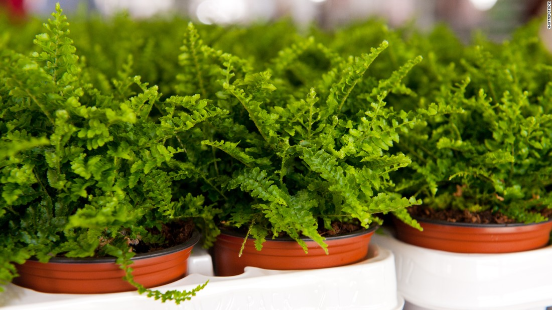 """If the air in your home is too dry, you may want to get some ferns. These plants are <a href=""""http://journals.usamvcluj.ro/index.php/promediu/article/view/9953"""" target=""""_blank"""">good at increasing air humidity</a>."""