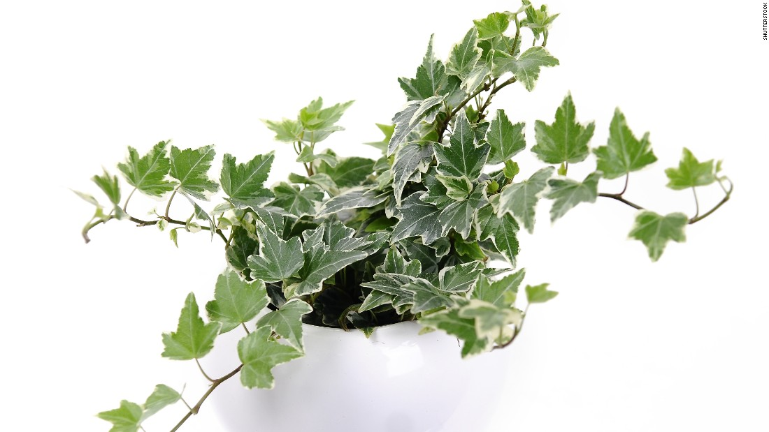 """Another plant for cigarette smokers or those who are sensitive to smoke: hedera helix, or English ivy. It is also <a href=""""http://journals.usamvcluj.ro/index.php/promediu/article/view/9953"""" target=""""_blank"""">recommended for those who have asthma</a>."""
