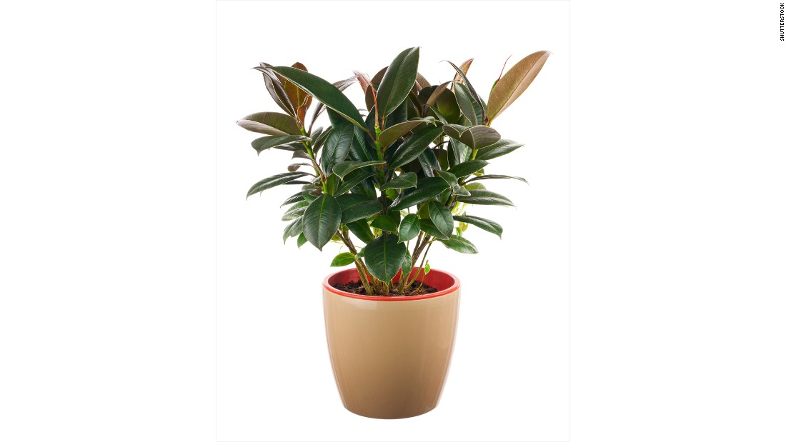 """If your house smells, invest in a ficus elastica. The plant <a href=""""http://journals.usamvcluj.ro/index.php/promediu/article/view/9953"""" target=""""_blank"""">absorbs odors and reduces the number of microorganisms and the amount of toxic substances</a>."""