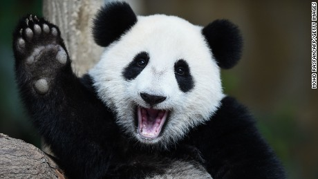 TOPSHOT - One-year-old female giant panda cub Nuan Nuan reacts inside her enclosure during joint birthday celebrations for the panda and its ten-year-old mother Liang Liang at the National Zoo in Kuala Lumpur on August 23, 2016.