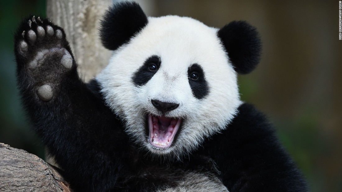 Nuan Nuan, a 1-year-old giant panda, reacts during a joint birthday celebration for her and her mother at the National Zoo in Kuala Lumpur, Malaysia, on Tuesday, August 23. Nuan Nuan was born on August 18, 2015, while her 10-year-old mother Liang Liang was born on August 23, 2006.
